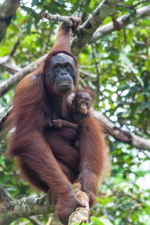 orang: Mother uran utang with child in a tree on Malaysian Borneo.
