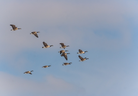 Canadian geese flying in formation in the late afternoon. Stock Photo - 17767505