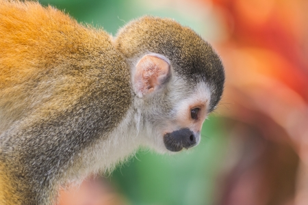 Squirrel monkey en profile in Costa Rica  photo