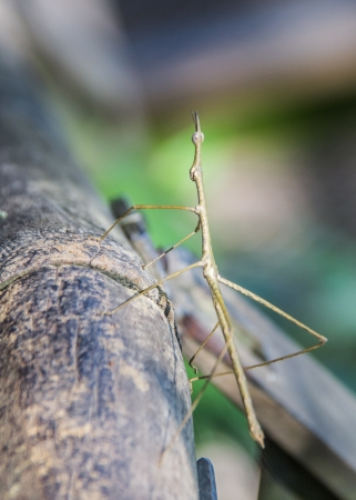 Stick insect sitting in the Brazilian rain forrest  photo