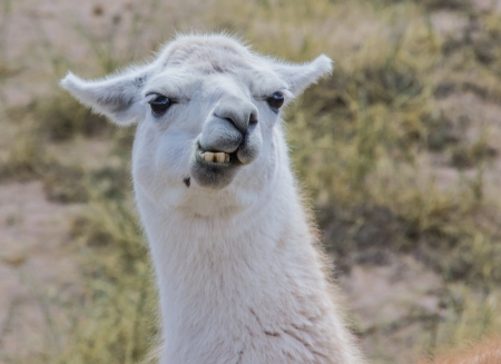 Chewing white lama in the Andes mountains, Argentina  Stock Photo - 18015035
