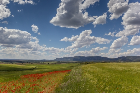Red poppies and wheat field in Andalusia, Spain photo