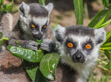 Ring-tailed lemur mother with child between leaves photo