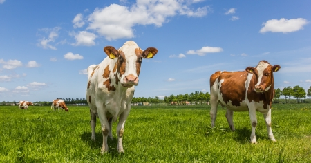 White and brown cows in a green meadow photo