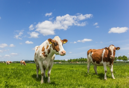 dairy cow: Brown and white cows in a green grass meadow