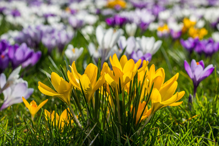 Yellow crocuses in the spring in the green grass photo