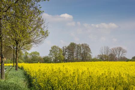 Field of yellow rapeseed near Kalkar in Germany photo