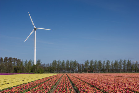 Field of yellow and  pink tulips and wind turbine photo