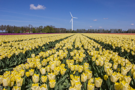 Field of yellow tulips and a wind turbine in the Netherlands photo