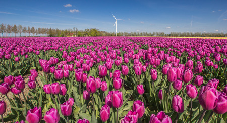Field of purple tulips and a wind turbine in the Netherlands photo