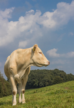 closeup cow face: French cow Blonde d Aquitaine in a dutch meadow