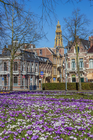 holand: Crocusses, old houses and church tower in Groningen, Netherlands