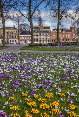 groningen: Colorful crocuses at the Ossenmarkt in Groningen, Holland Stock Photo