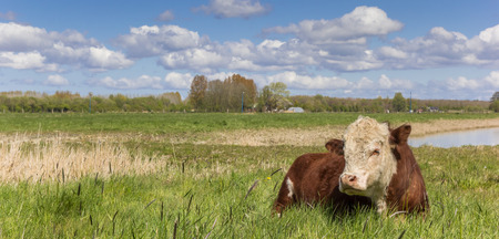 Panorama of a Hereford cow in the grassland outside Groningen, The Netherlands