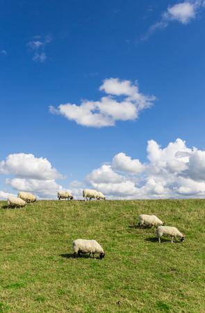 Sheep grazing on a dutch dike near Groningen, Netherlands Stock Photo