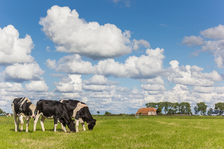 Little farm and dutch cows in Groningen, Netherlands 스톡 콘텐츠