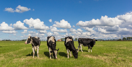 Panorama of dutch black and white Holstein cows in Holland Stock Photo