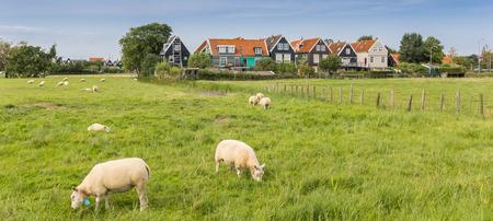 Panorama of sheep in historic fishing village Marken, Netherlands