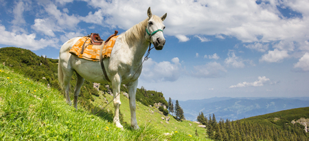 Panorama of a white horse in the Carpathian mountains of Romania