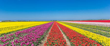 Panorama of a colorful tulips field in Noordoostpolder, Holland