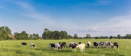 Panorama of Holstein black and white cows in Groningen, Netherlands