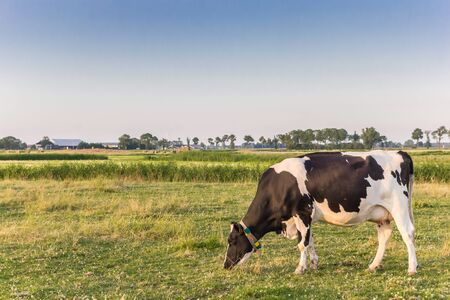 Single white cow in the landscape of Groningen, Netherlands