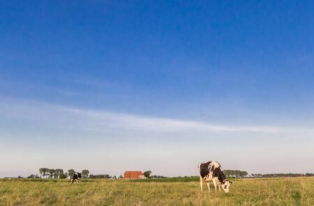 Little farm and dutch cows in Groningen, Netherlands Stockfoto