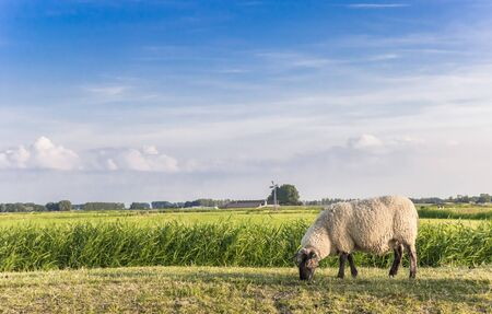 Single white sheep on a dike in Groningen, Netherlands Stockfoto