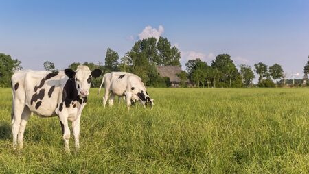 Two Holstein cows in a meadow near Groningen, Holland Stockfoto