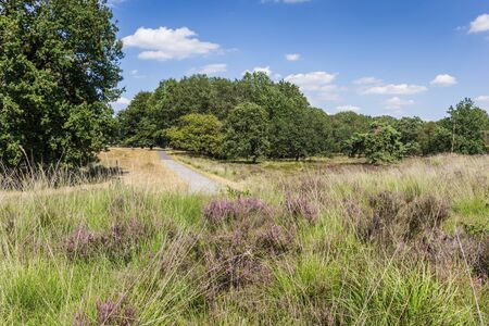 Purple heather in National Park Dwingelderveld in Drenthe, Netherlands Stockfoto