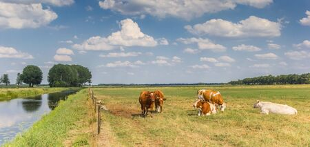 Panorama of cows at the Dwingelerstroon river in Drenthe, Netherlands Stockfoto
