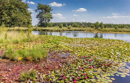 Pink waterlilies in the moors of Dwingelderveld national park, Netherlands Stockfoto
