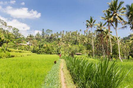 Rice field at the Telaga Waja river on Bali, Indonesia Imagens - 133336158