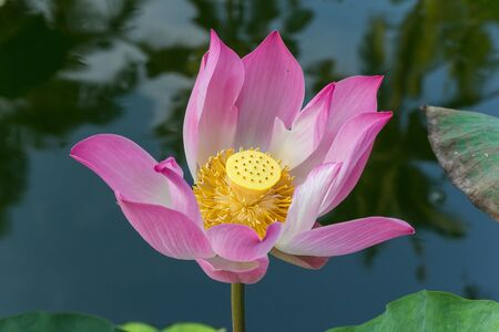 Pink lotus flower in a pond on Bali island, Indonesia Imagens - 132807104