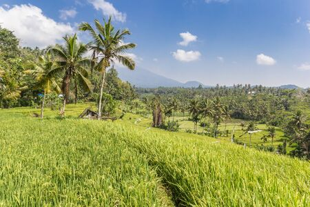 Palm trees in a rice field on Bali island, Indonesia Imagens