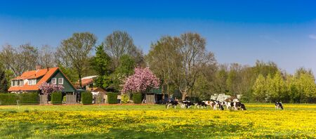 Panorama of dutch cows in front of a little farm in The Netherlands