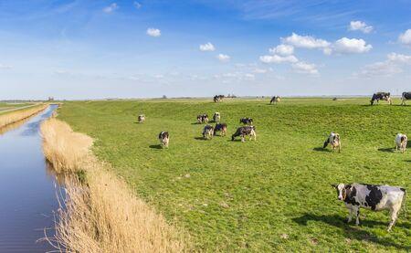 Cows on the dike at the IJsselmeer in Gaasterland, Netherlands