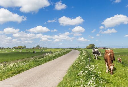 Holstein cows at the dike in the dutch landscape near Groningen, Netherlands