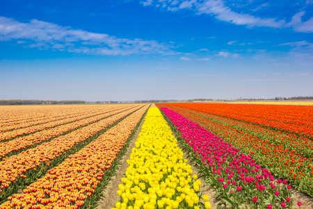 Bright colors of a tulips field in Noordoostpolder, Netherlands