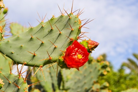 Prickly pear cactus with red flowers. Macro shooting
