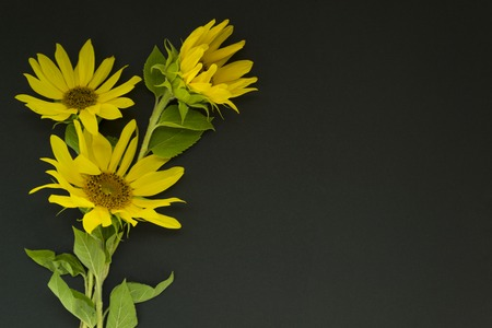 A bouquet of yellow sunflowers lies on a black background, chalk board. There is a place for text. Concept summer, harvest.