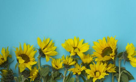 Beautiful sunflowers on a blue background. Bouquets of yellow flowers for the banner. View from above. Background with copy space. Holiday concept.
