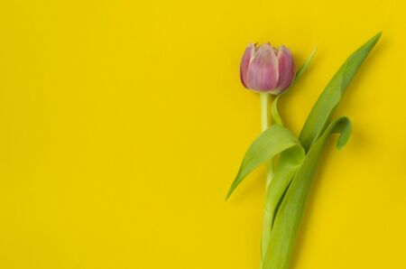 One pink tulip on a yellow background. March 8th, Happy Women's Day. The concept of spring. There is a place for text. Copy space