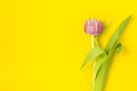 One pink tulip on a yellow background. March 8th, Happy Womens Day. The concept of spring. There is a place for text. Copy space