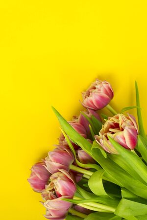 Pink tulips on a yellow background. March 8th, Happy Women's Day. The concept of spring. There is a place for text. Copy space 版權商用圖片