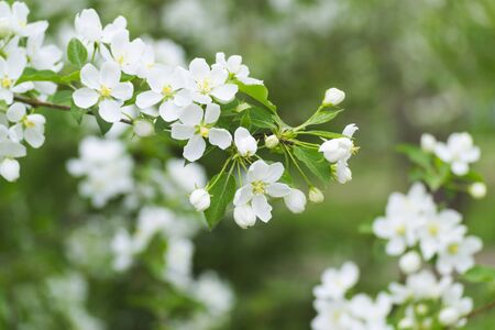White apple blossom in spring on a green background. Blurred background. Spring concept.