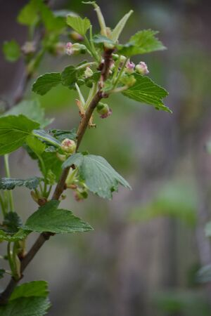 black currant flowers, closeup, blurred agricultural spring background. Close-up Stockfoto