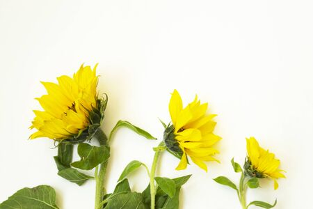Three yellow sunflowers lie on a white background. There is a place for text