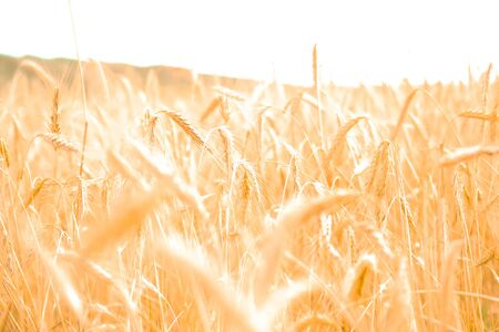 Close up view of a golden wheat field in the countryside. Blurred background Standard-Bild