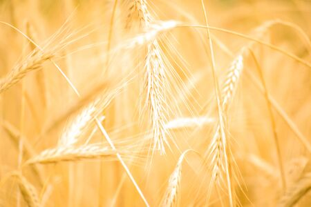 Close up view of a golden wheat field in the countryside. Blurred background